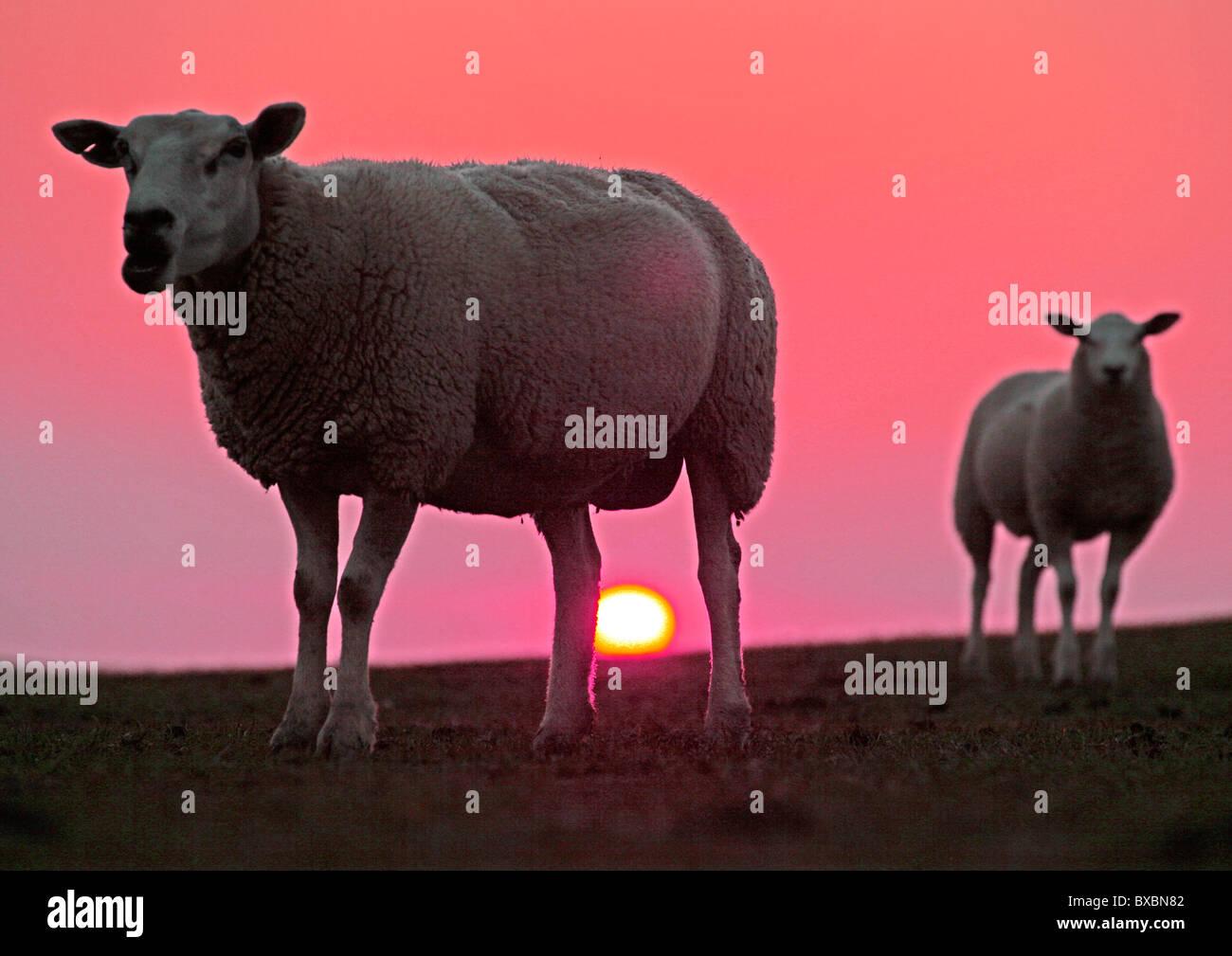 Sonnenuntergang hinter Schafen auf dem Deich, Sönke-Nissen-Koog ...