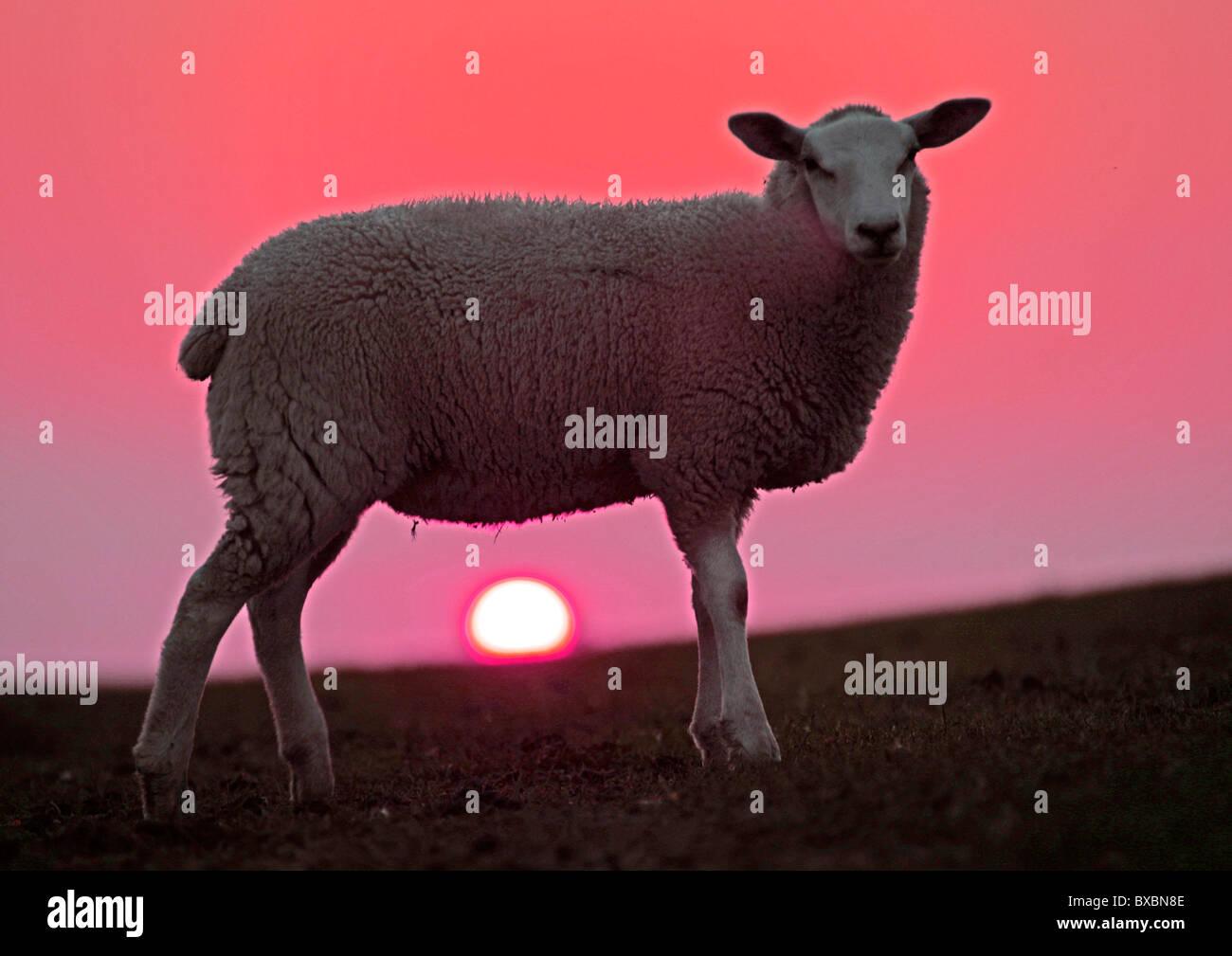Sonnenuntergang hinter ein Schaf auf dem Deich, Sönke-Nissen-Koog ...