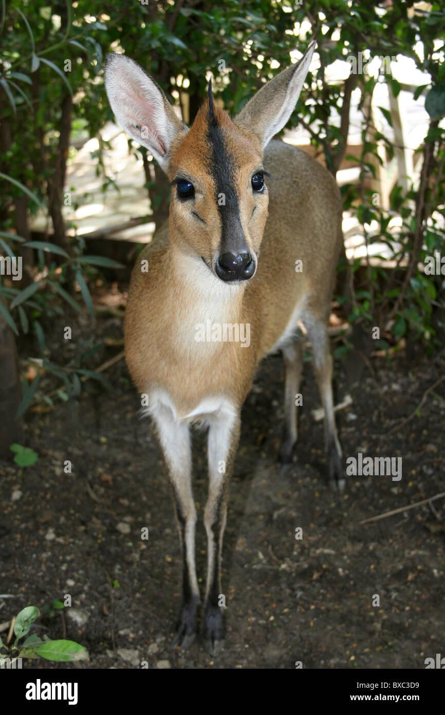 Bush Duiker Sylvicapra Grimmia In A Hotel Garden, Arba Minch, Äthiopien zu zähmen Stockbild