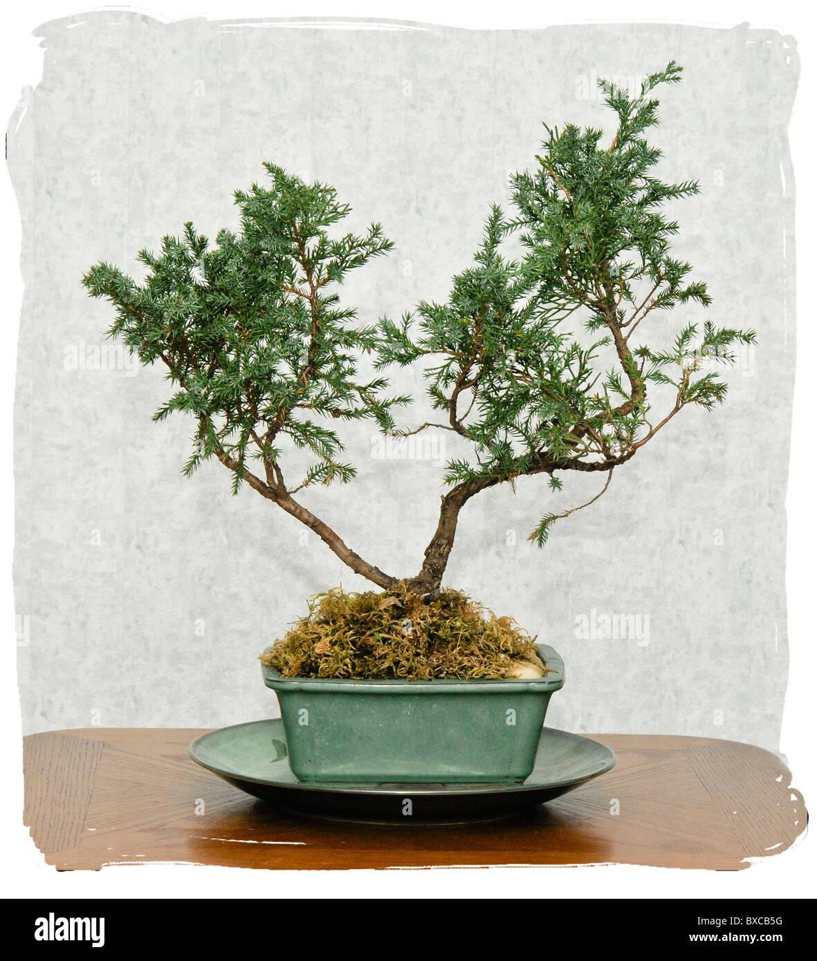 Bonsai Baum, Skizze für Interior Design Stockfoto, Bild: 33463628 ...