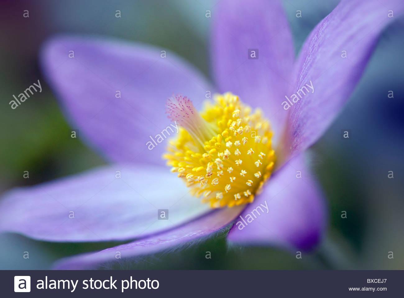 Ein einzelnes Pulsatilla Vulgaris Blume - Kuhschelle Stockbild