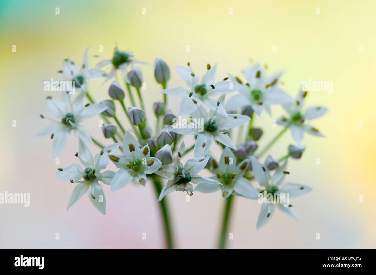 Allium Ursinum - Bärlauch weiße Blumen Stockbild