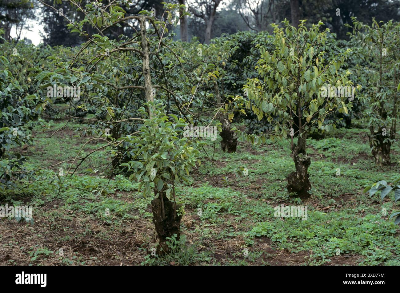 Kaffee Sträucher stark weaked durch Fusarium Rinde Krankheit (Fusarium SP.), Kenia Stockbild