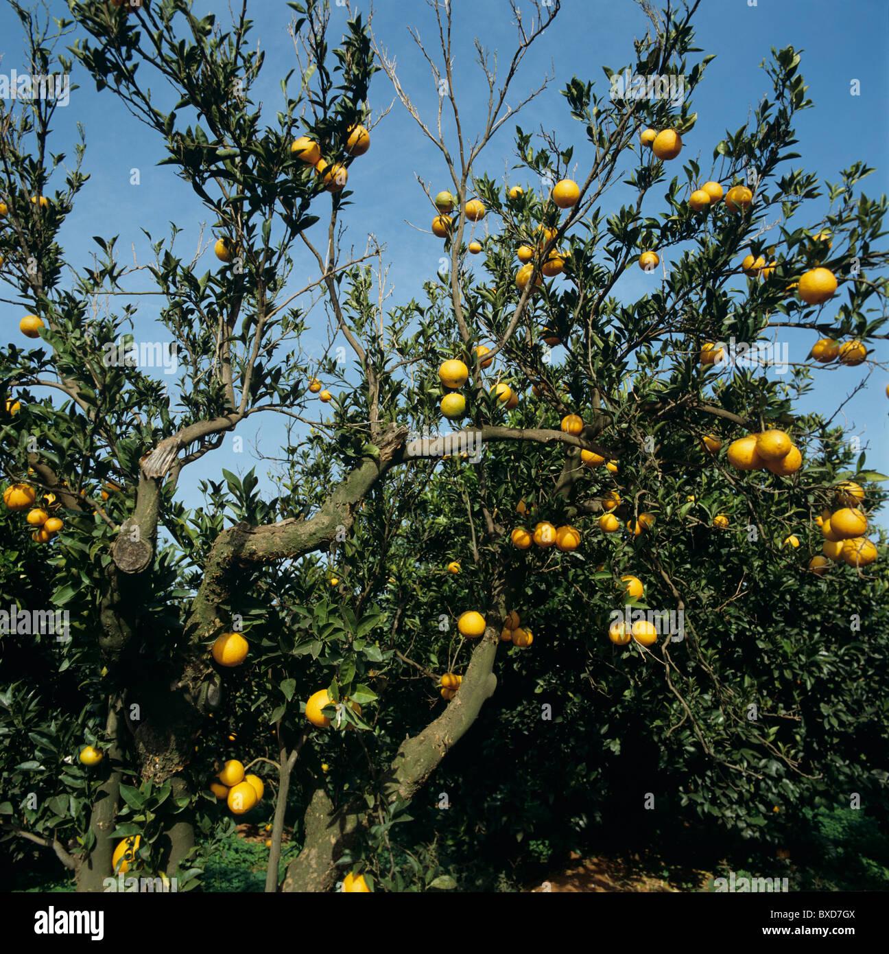 Schuppige Rinde (Citrus Psorosis Virus) Infektion von einer Clementine verursacht, Verfall und Tod, Spanien Stockbild
