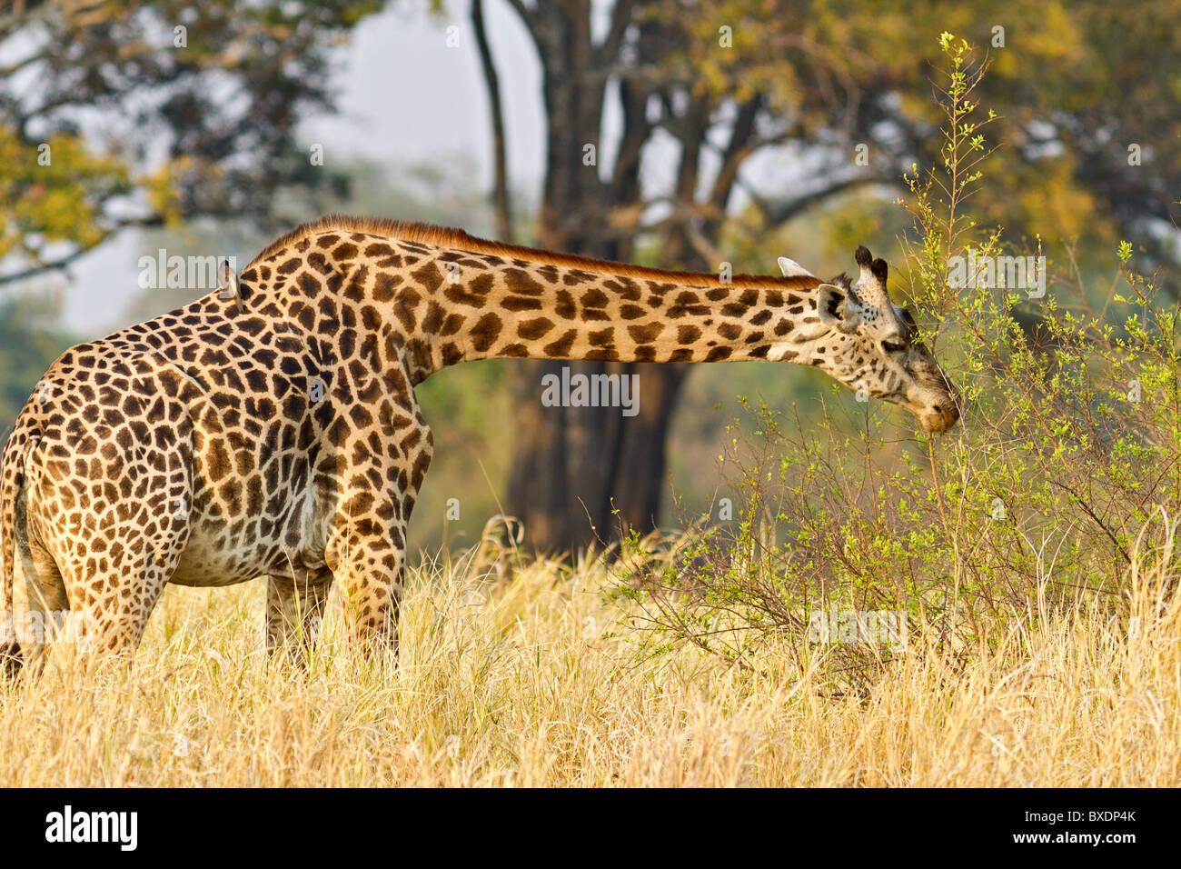 Giraffe mit Vogel auf seinem Rücken auf Safari im South Luangwa Nationalpark, Sambia, Afrika zu sehen. Stockbild