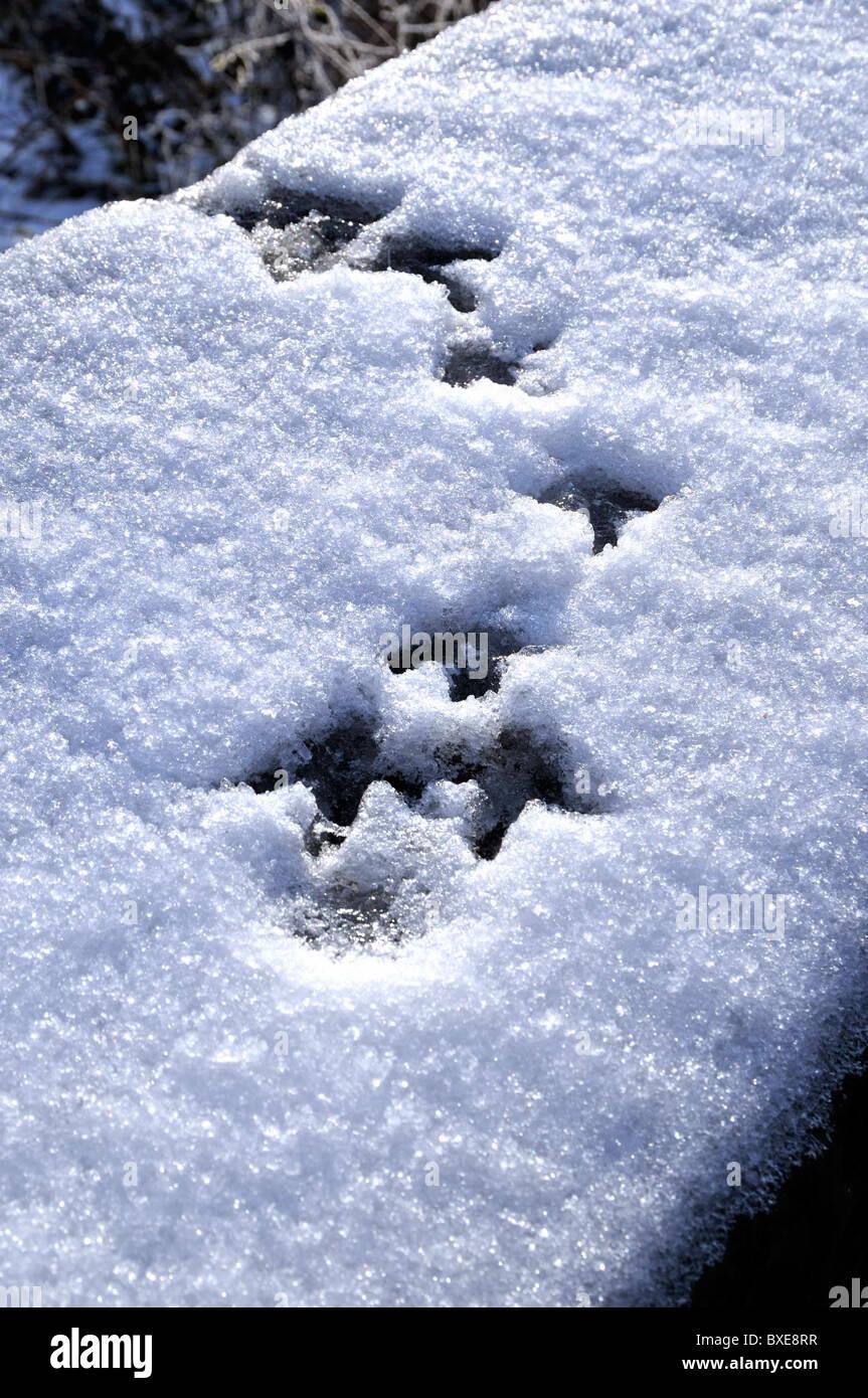 Schwimmhäuten Fußspuren im Schnee Stockbild