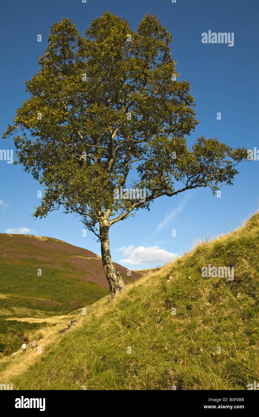 Einsamer Baum, Broadhead Clough, Dark Peak, Peak District, Derbyshire Stockbild