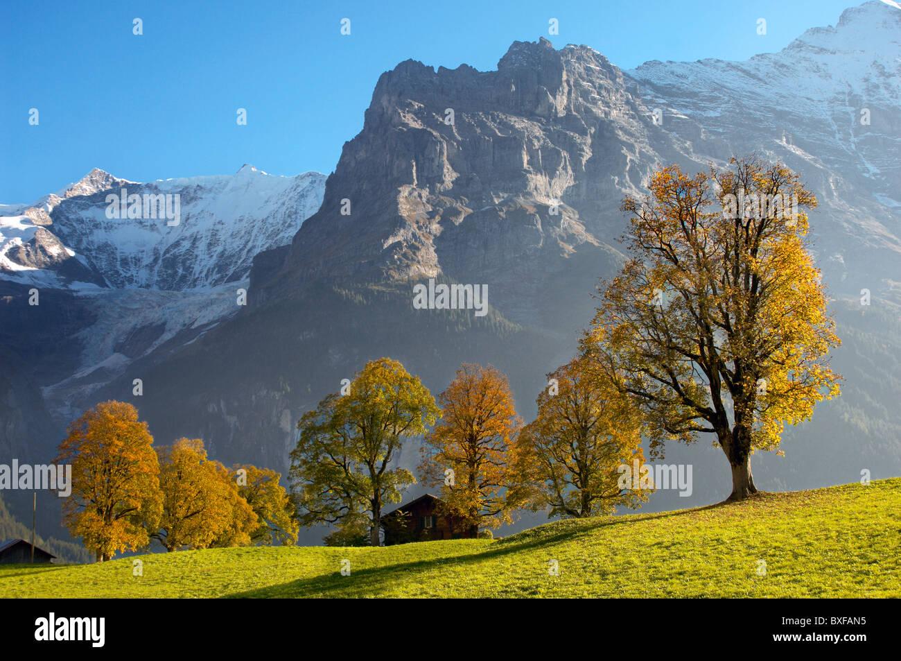 Herbstliche Bäume in den Schweizer Alpen, Grindelwald, Schweiz Stockbild