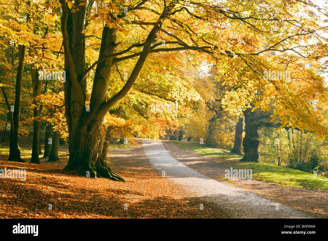 Herbst in Virginia Water, Surrey, UK. Buche Bäume. Stockbild