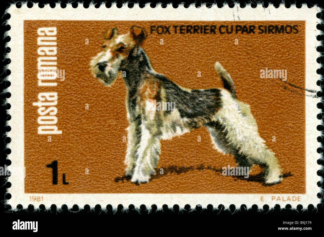 A Fox Terrier Stockfotos & A Fox Terrier Bilder - Alamy