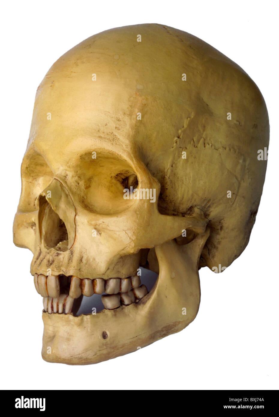 Medizin, Anatomie menschlicher Schädel, natürliche Beispiel, Deutschland, um 1960, Additional-Rights  Stockbild
