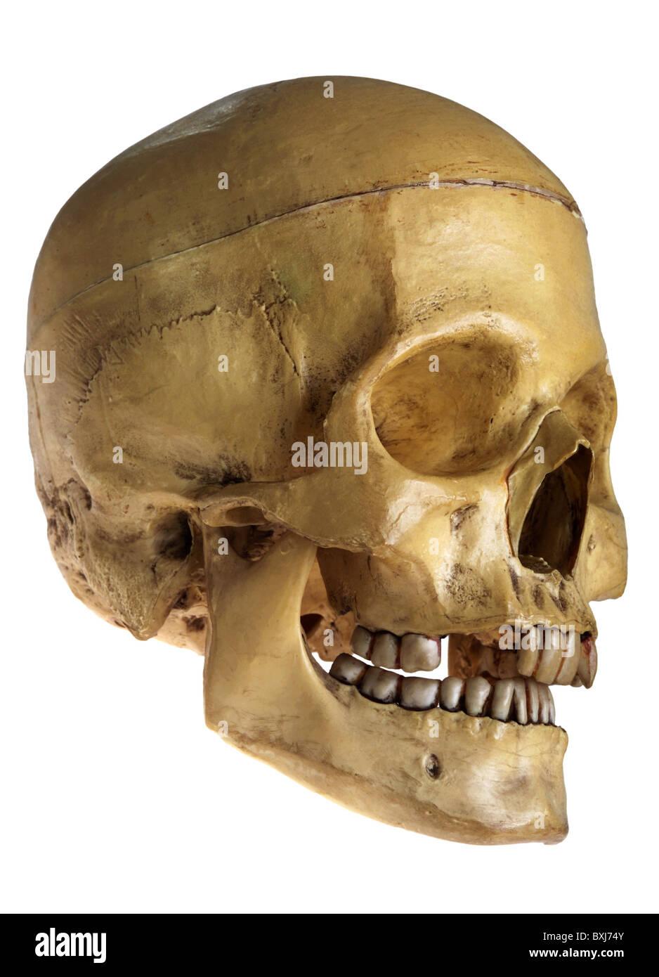 Medizin, Anatomie menschlicher Schädel, natürliche medizinische Beispiel, Deutschland, um 1960, Additional Stockbild