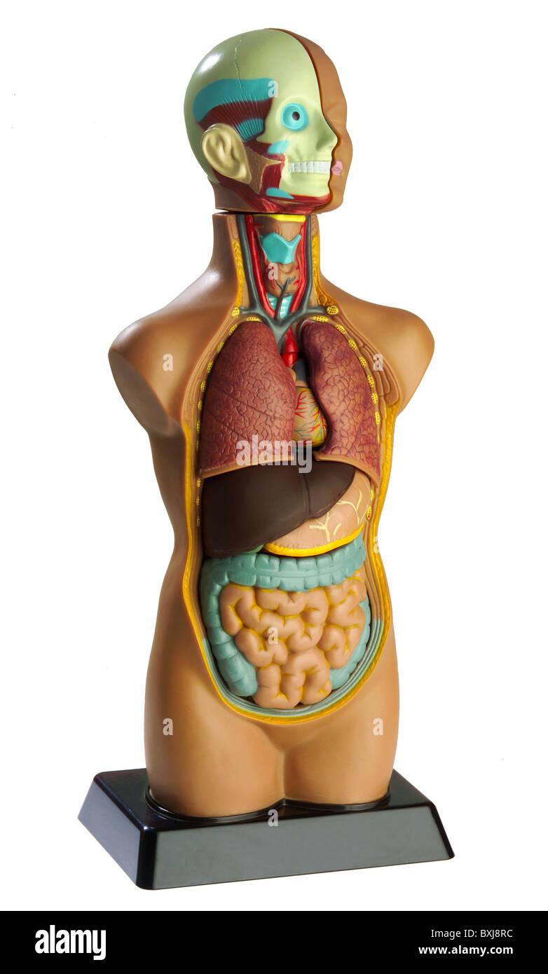 Medizin, Anatomie des menschlichen Körpers, Beispiel, Deutschland, ca. 1975, Additional-Rights - Clearences Stockbild