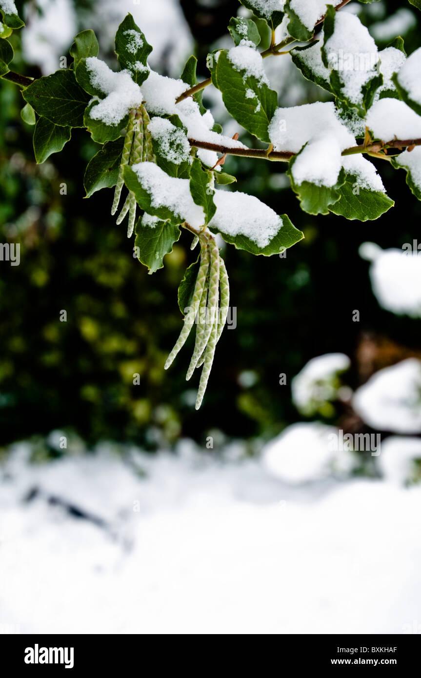 Kätzchen und Blätter der Garrya Elliptica mit Schnee - ein robuster immergrüner Strauch.  UK Stockfoto