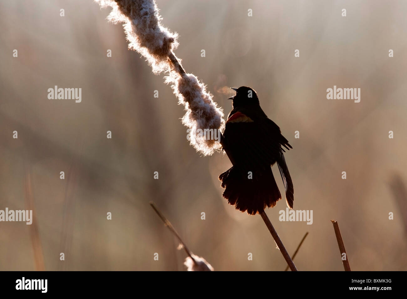 Rotschulterstärling singen an einem kalten Morgen Stockbild