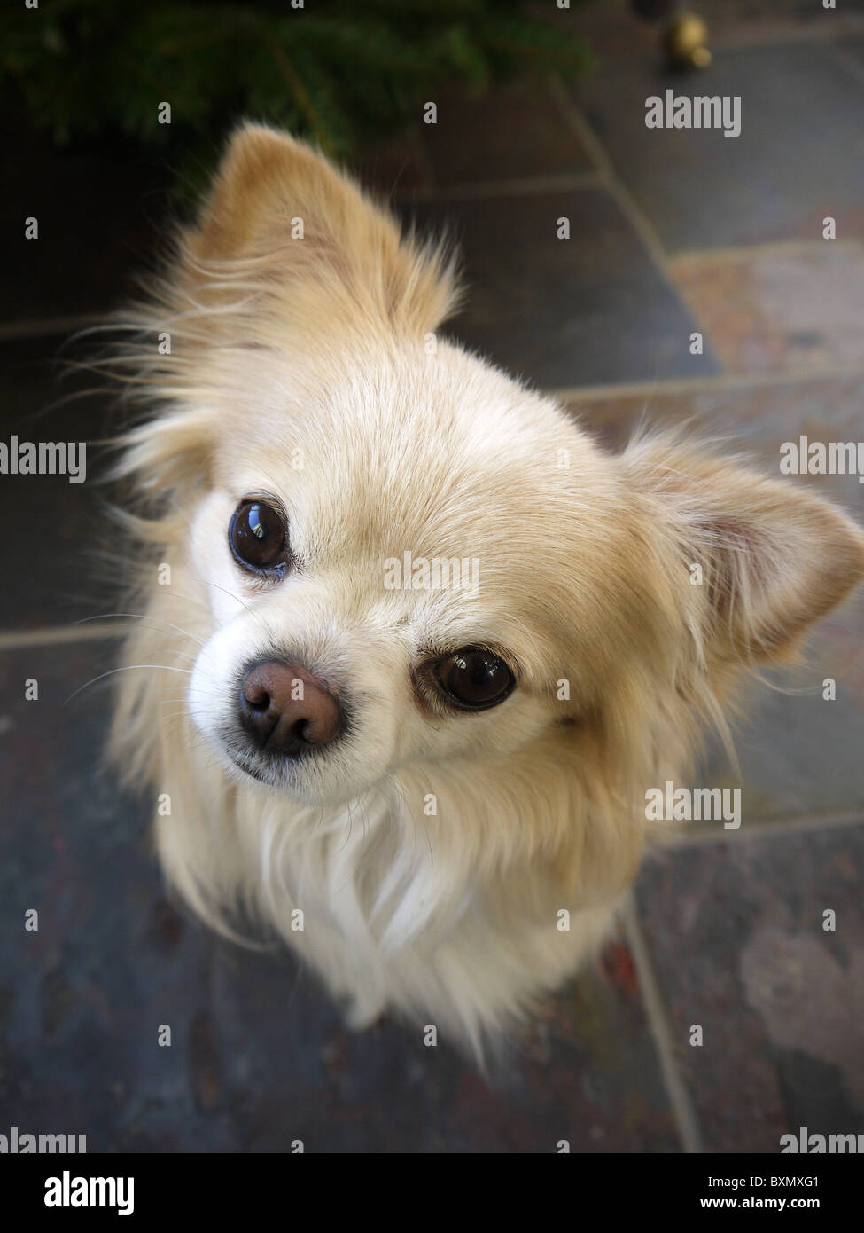 Ein kleinen männlichen Chihuahua Hund Gesicht starrt mit Ohren spitzte Stockbild