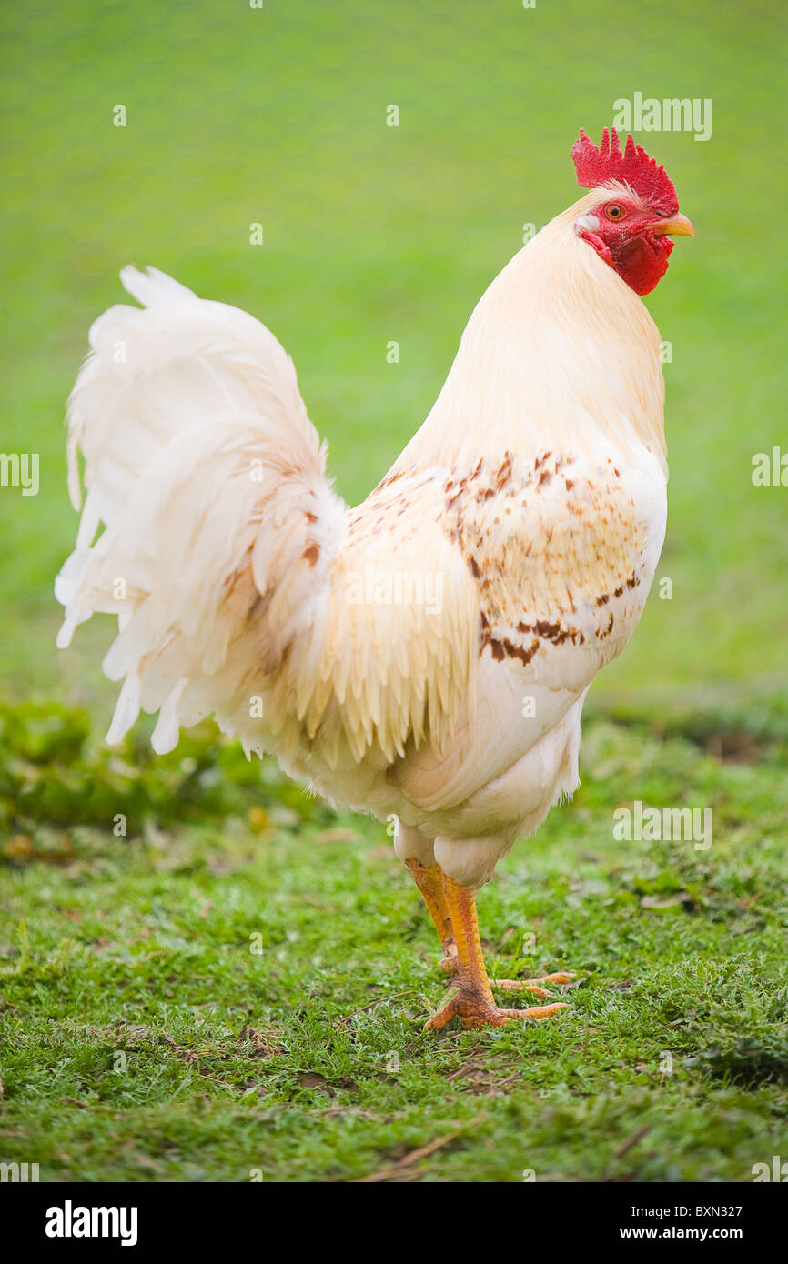 Background Chicken Looking Stockfotos & Background Chicken Looking ...