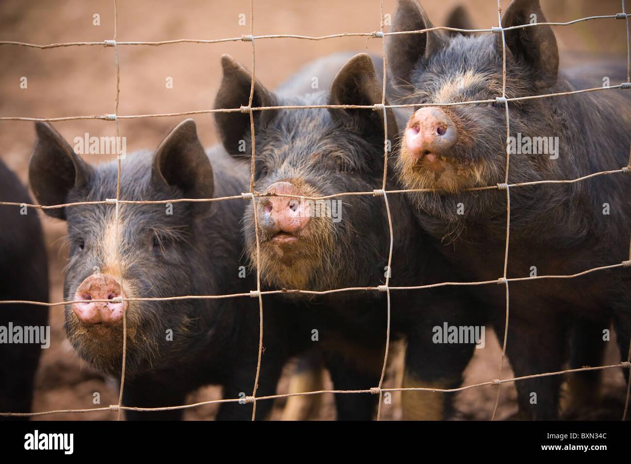 Fantastisch Schwein Drahtzaun Land Galerie - Die Besten Elektrischen ...