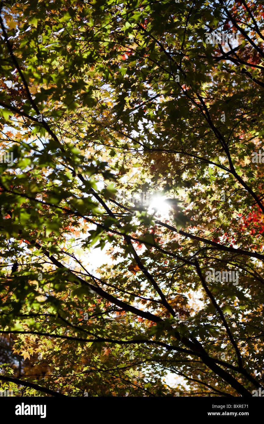 Herbst Baum mit grünen Blättern Stockfoto