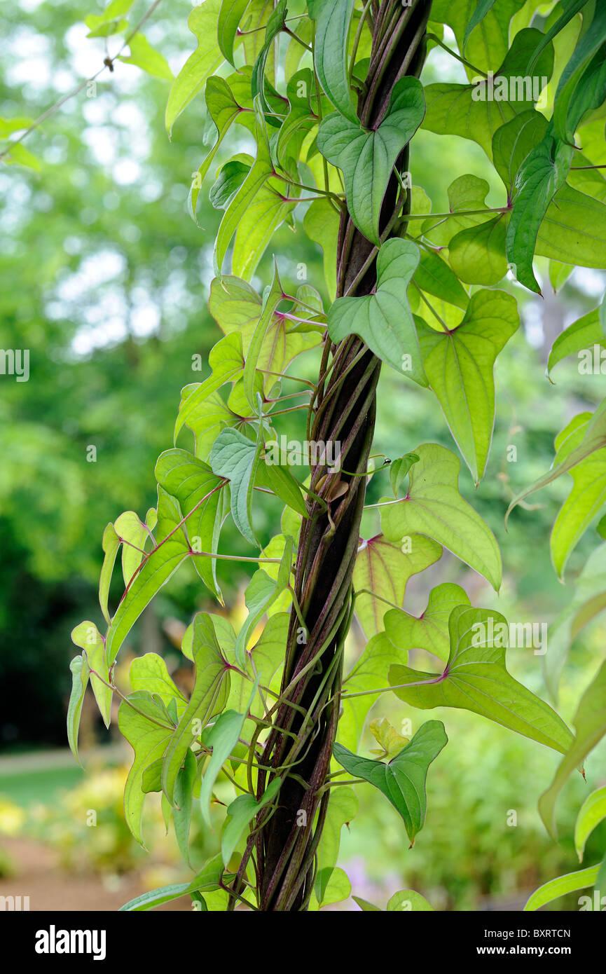 Blätter am Weinstock Stockbild