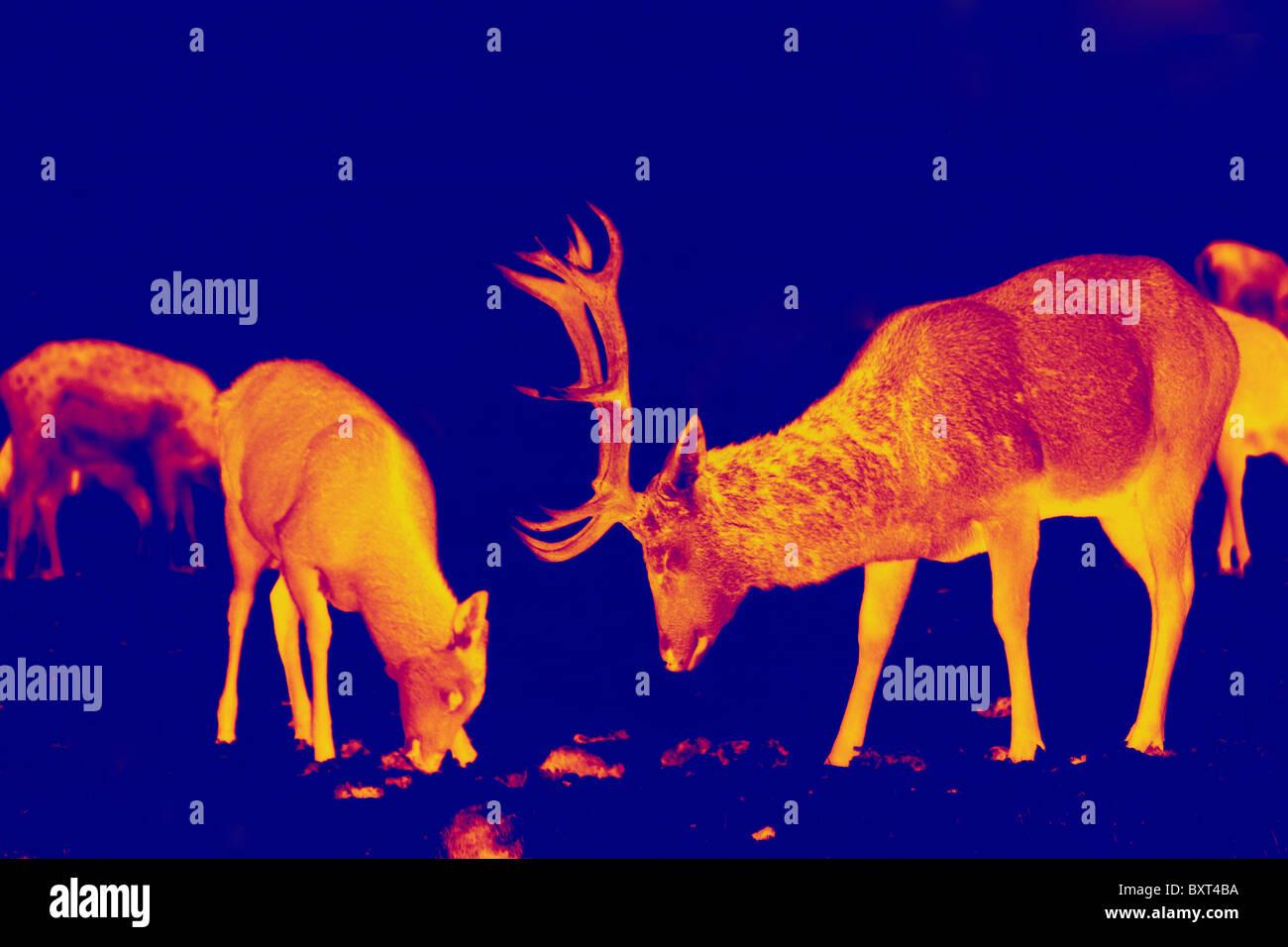 Rotwild und Hirsch in einem thermischen Infrarot-Digitalfoto als ein Heat-seeking räuberische Schuss erscheinen Stockbild