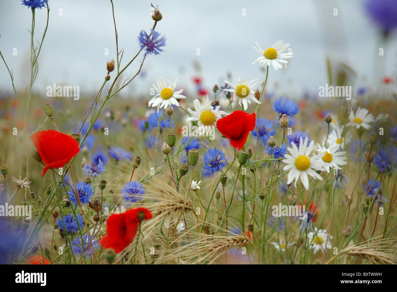 bunte wildblumen wie g nsebl mchen kornblume mohn auf wiese im sommer stockfoto bild. Black Bedroom Furniture Sets. Home Design Ideas