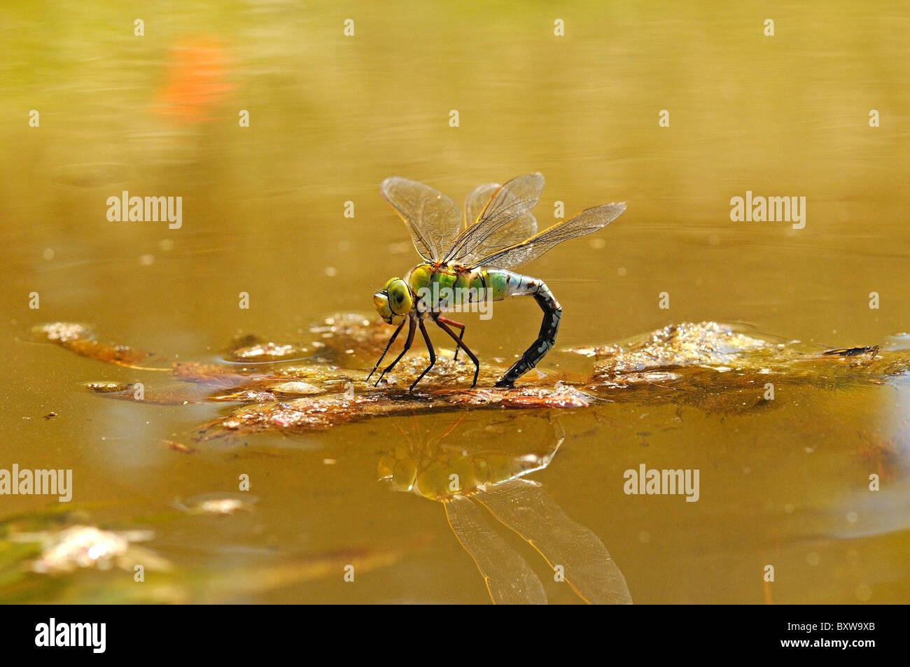 Kaiser-Libelle (Anax Imperator) weiblich Eiablage an Wasseroberfläche, Oxfordshire, Vereinigtes Königreich. Stockbild