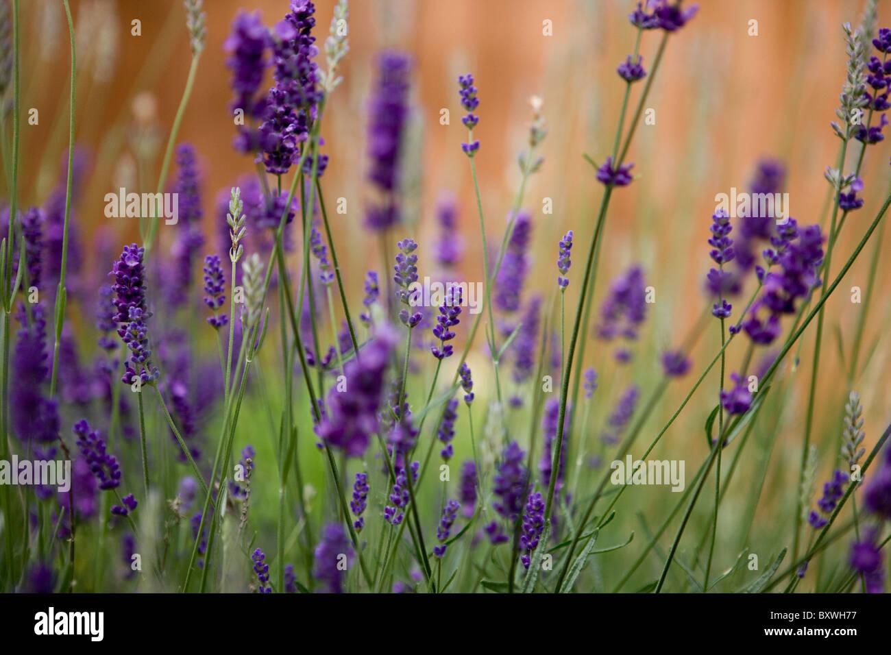 lavendel pflanze stockfoto bild 33753755 alamy. Black Bedroom Furniture Sets. Home Design Ideas
