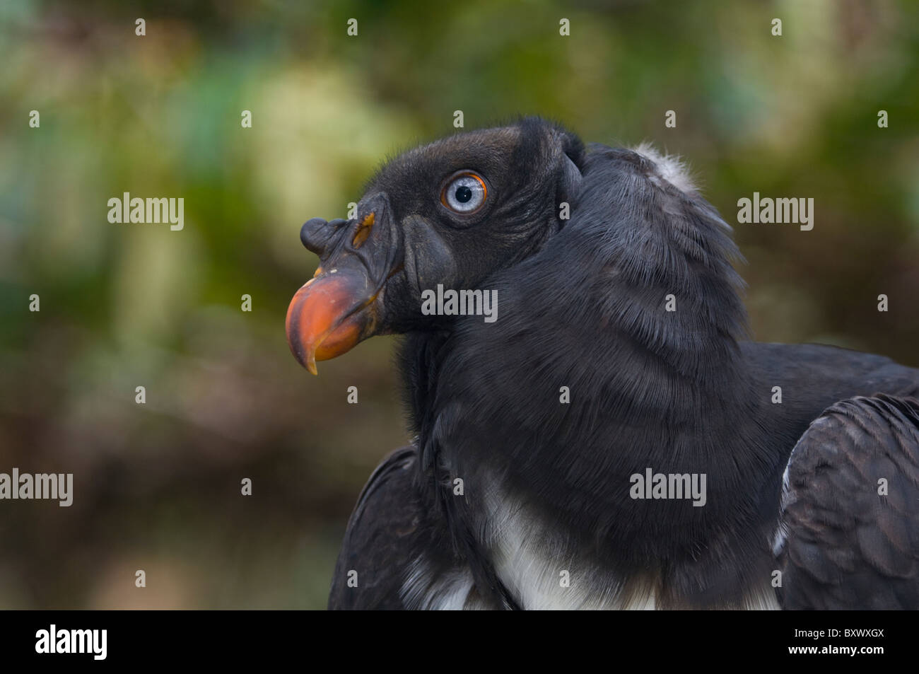 King Vulture (Sarcoramphus Papa), Welt der Vögel, Kapstadt, Südafrika Stockbild