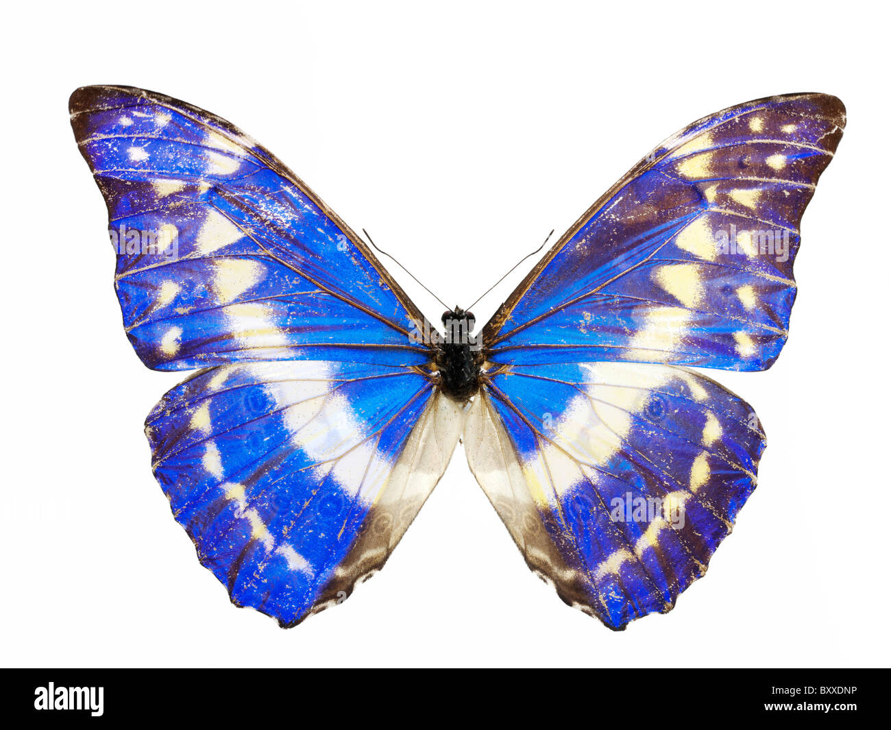 Morpho Helena Schmetterling Stockfoto