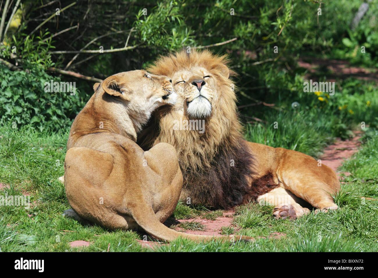Löwen In Der Liebe Stockfoto Bild 33778838 Alamy