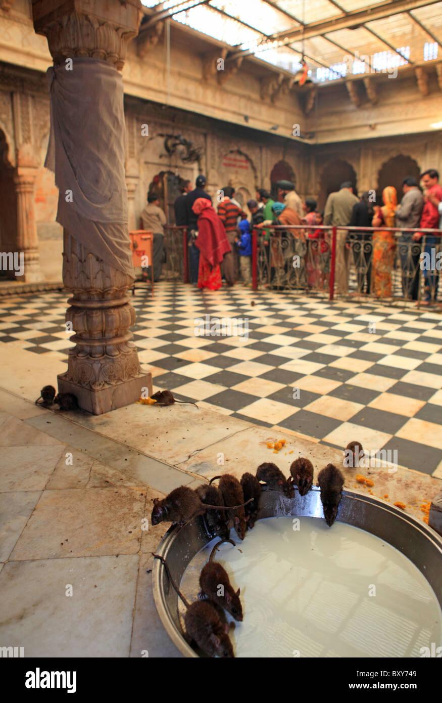 Ratten trinken Milch im Karni Mata Tempel in Deshnoke, Bikaner, Rajasthan, Indien Stockbild