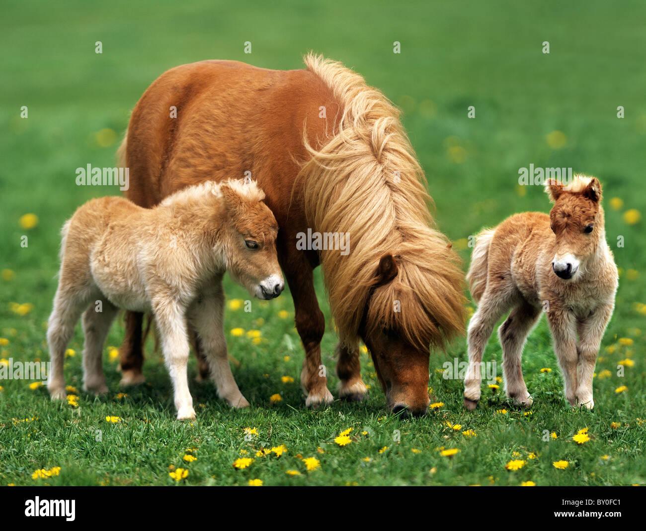 mini shetland pony stute mit fohlen twin auf wiese stockfoto bild 33818177 alamy. Black Bedroom Furniture Sets. Home Design Ideas