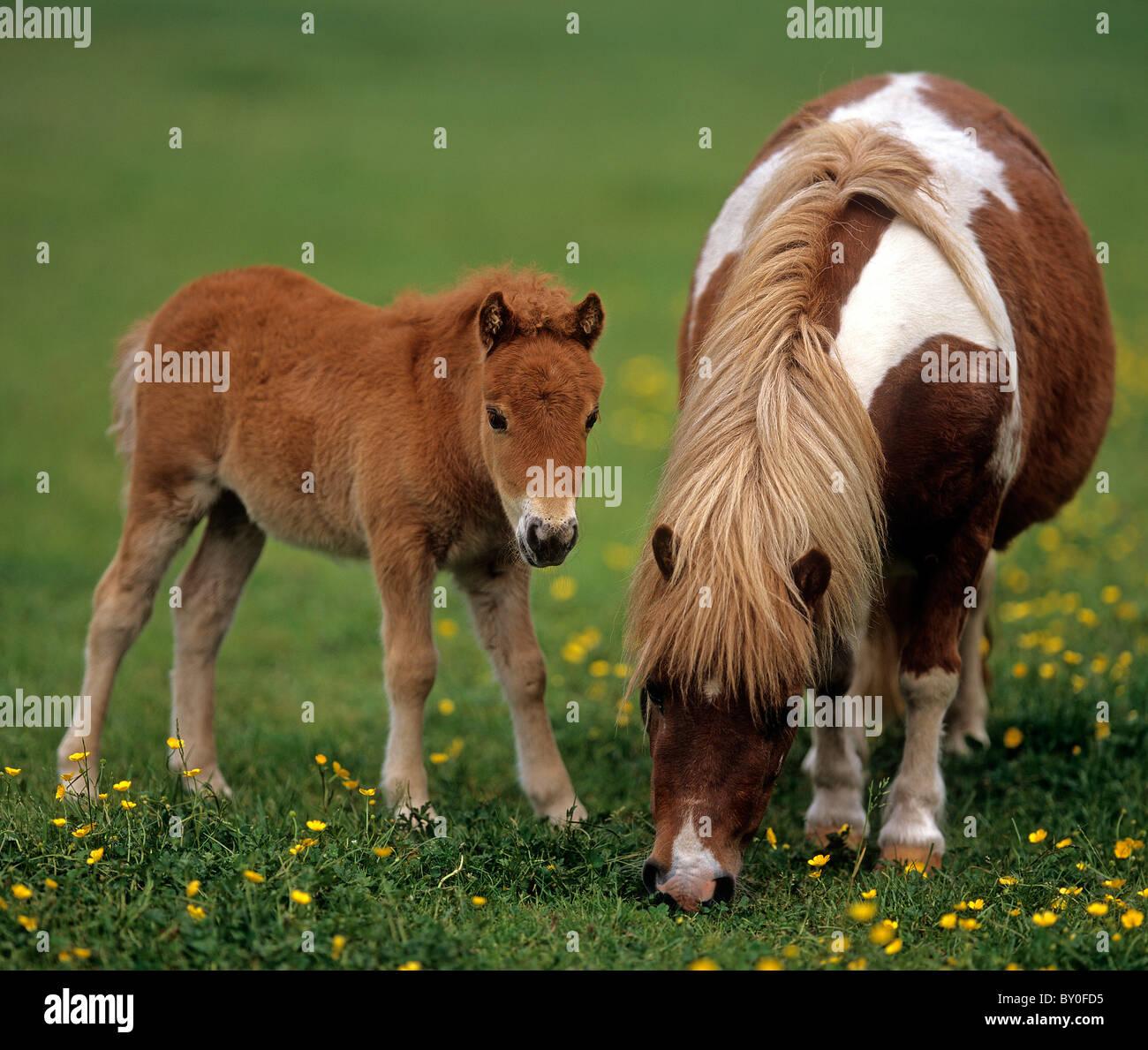 mini shetlandpony pferd stute und fohlen auf der wiese stockfoto bild 33818209 alamy. Black Bedroom Furniture Sets. Home Design Ideas