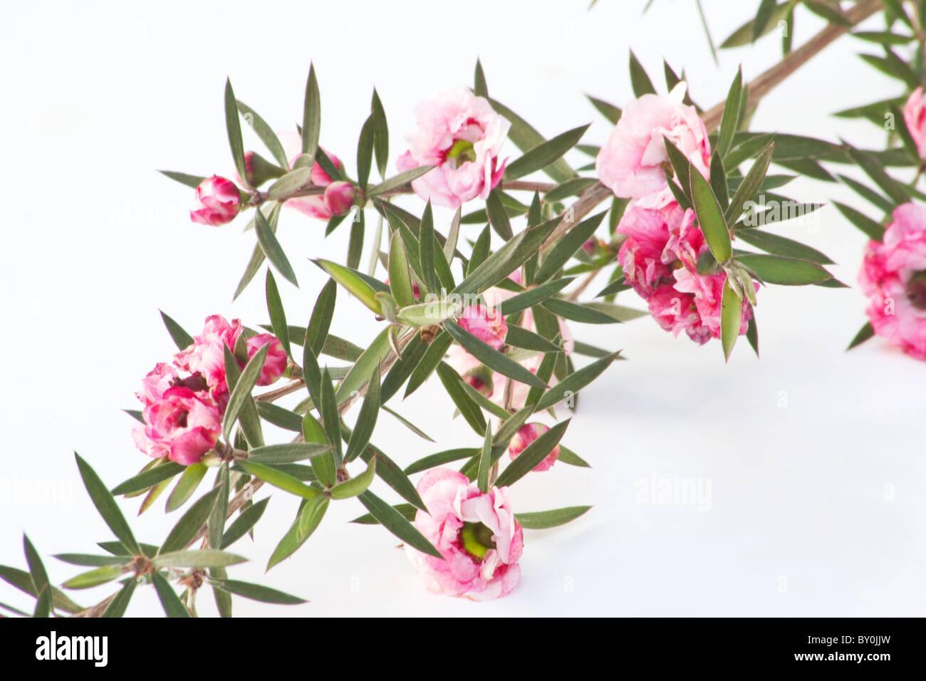 Nahaufnahme von Manuka (Leptospermum Scoparium) Blumen auf weißem Hintergrund Stockbild