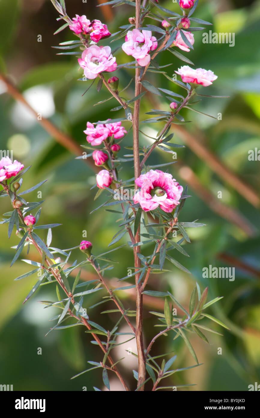 Nahaufnahme von Manuka (Leptospermum Scoparium) Blume Stockbild