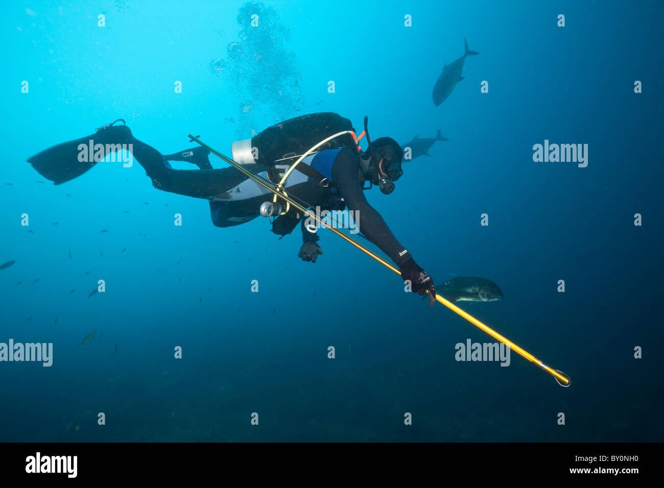 Forscher nimmt Proben von Bull Shark Skin, Beqa Lagoon, Viti Levu, Fidschi Stockbild