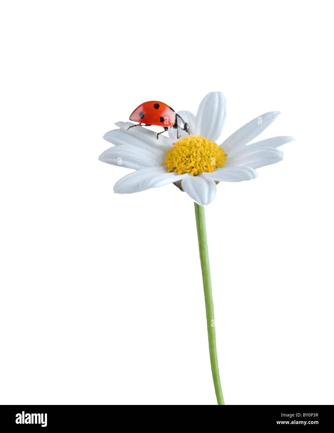 Marienkafer Auf Eine Weisse Blume Isoliert Auf Weiss Stockfotografie Alamy