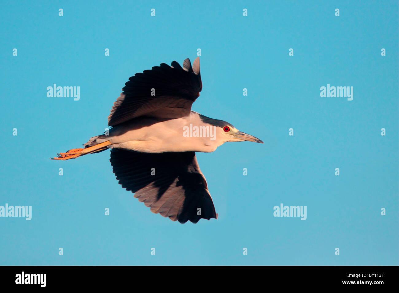 Schwarz-gekrönter Nacht-Reiher im Flug. Stockbild
