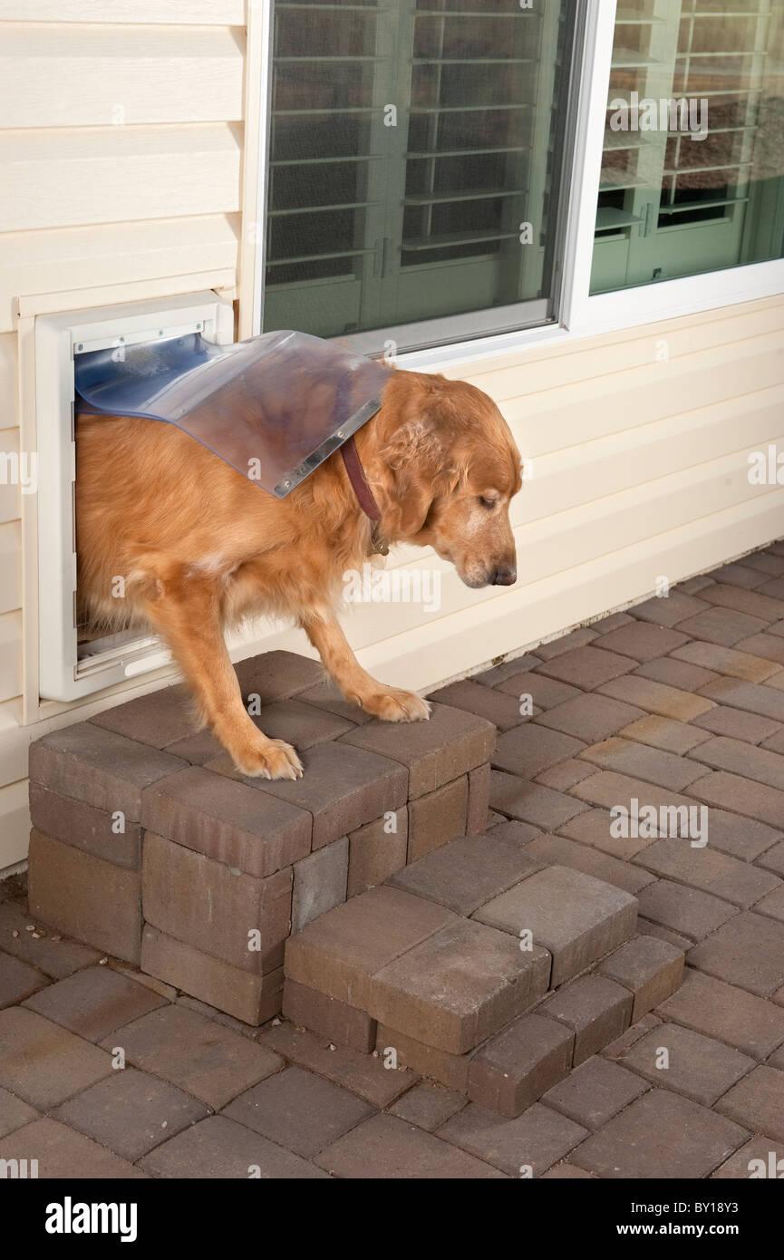 Ein golden Retriever Haustier Spaziergänge durch ein Haus Hund Tür. Stockbild