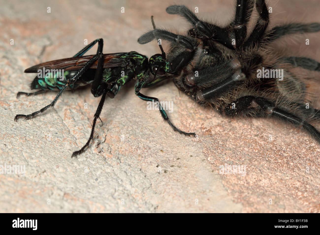 tarantula hawk wespe ziehen eine riesige spinne stockfoto bild 33839887 alamy. Black Bedroom Furniture Sets. Home Design Ideas