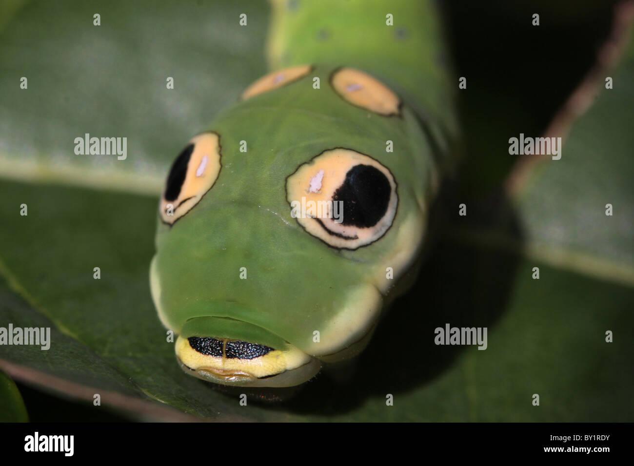 Spicebush Schwalbenschwanz Raupe Schlange mimischen gefälschte Auge Flecken Stockbild