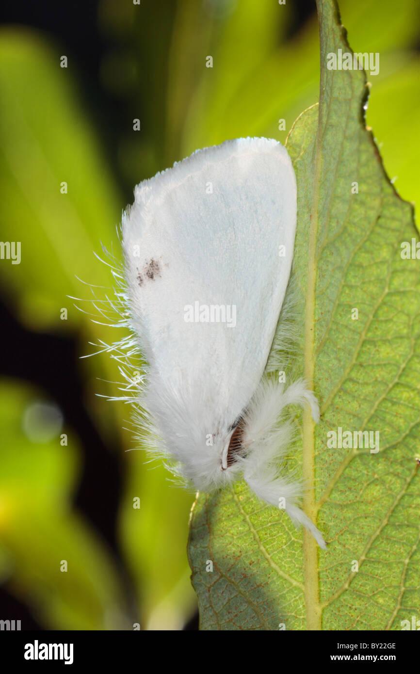 Männliche gelb-Tail Motte (Euproctis Similis). Powys, Wales. Stockbild