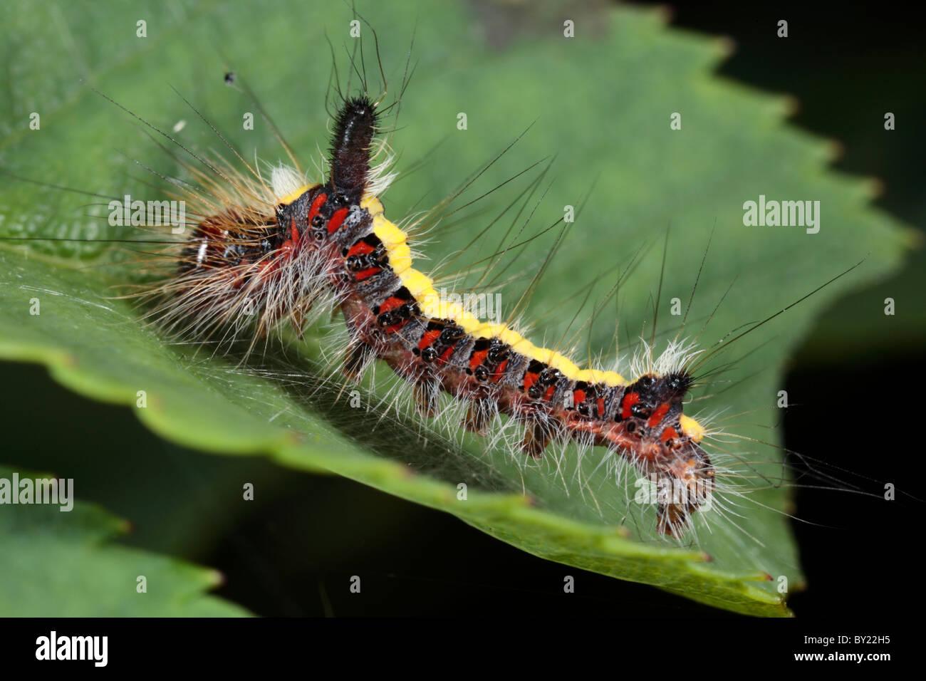 Larve einer grau Dolch Moth (Acronicta Psi) auf einem Rosenblatt. Powys, Wales. Stockbild