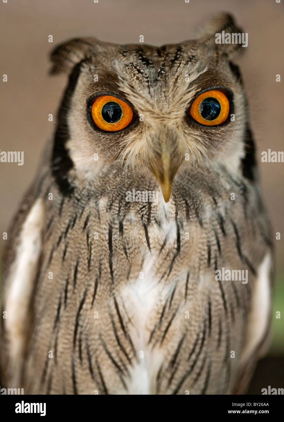 Eine White-faced Zwergohreule-Eule, eine Art kleine Eule mit Ohr-Büschel, die ausgelöst werden, wenn der Vogel gestört Stockfoto