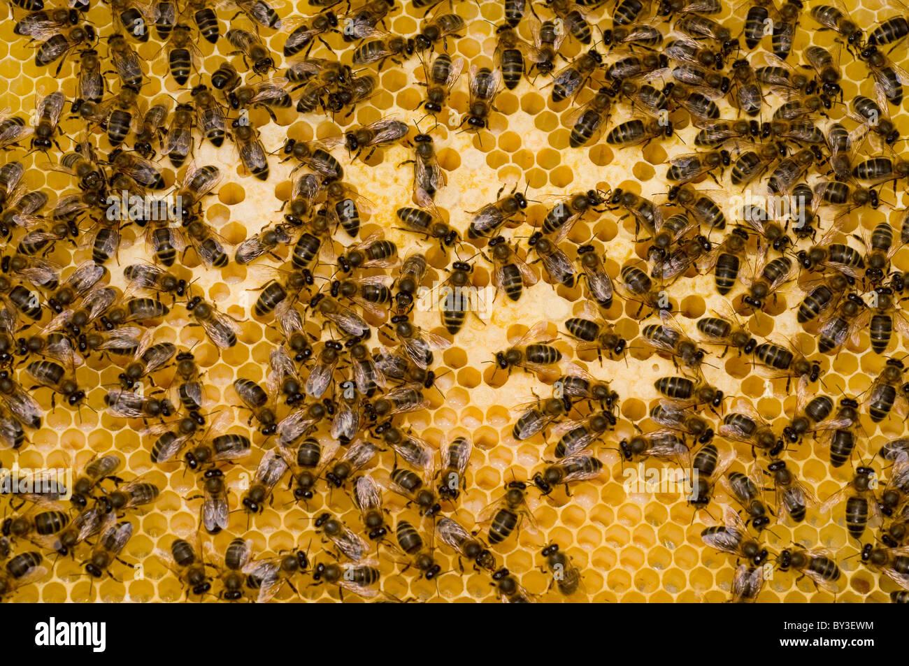 Honigbienen Apis Mellifera auf Waben Stockbild