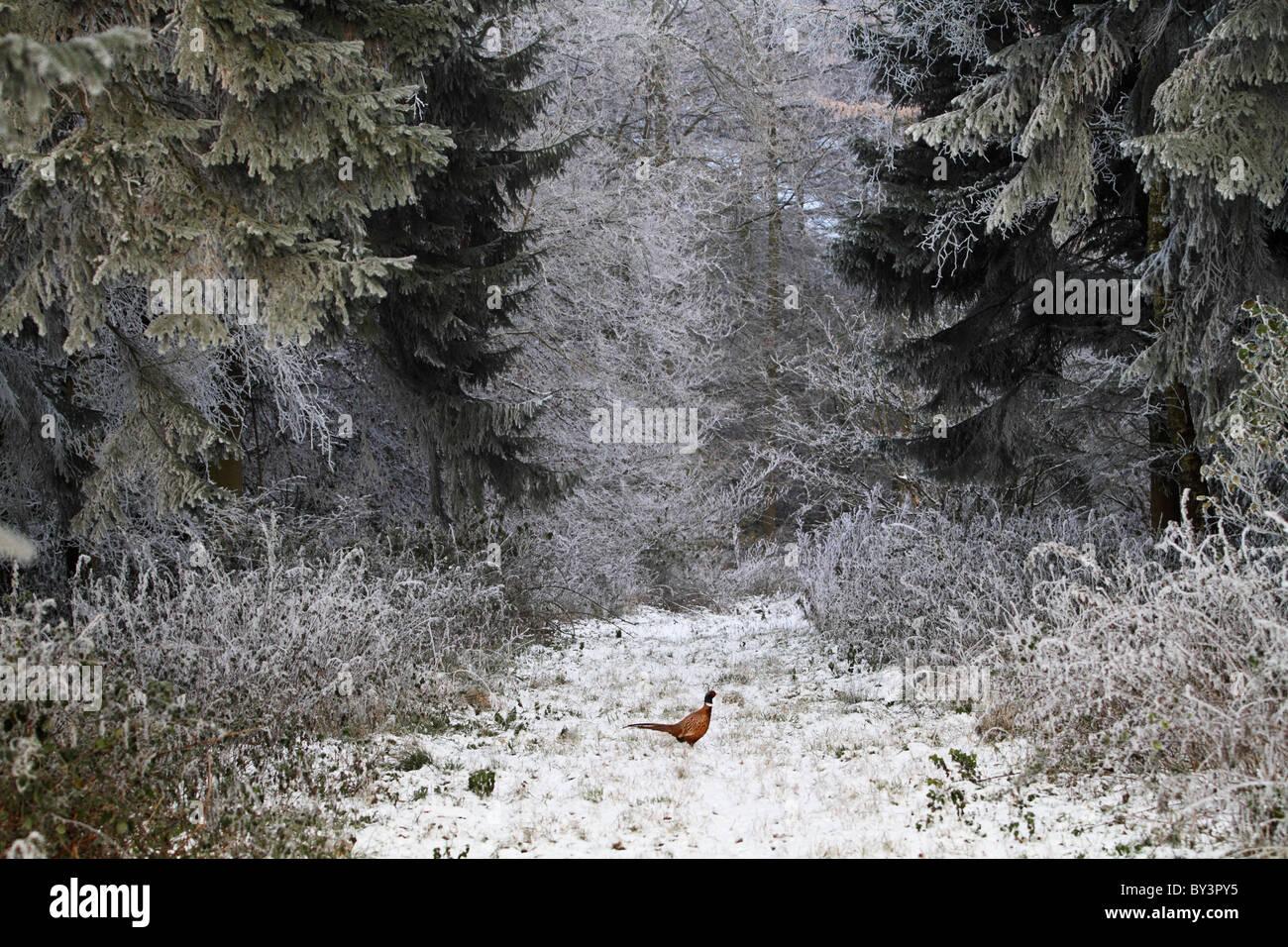 Fasan im Schnee Jagd winter Stockbild