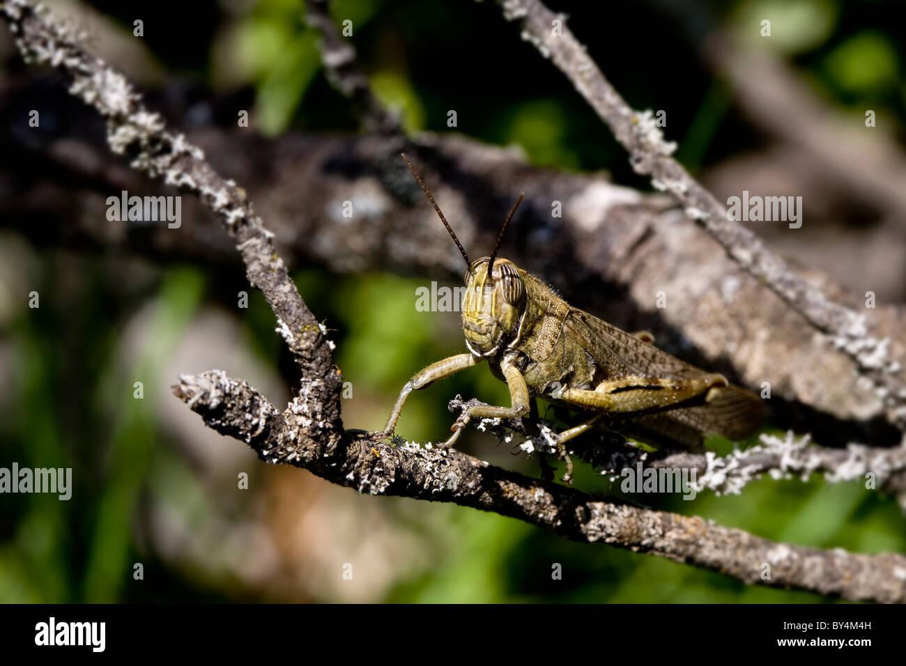 Heuschrecke auf einem Ast, Sardinien, Italien Stockbild