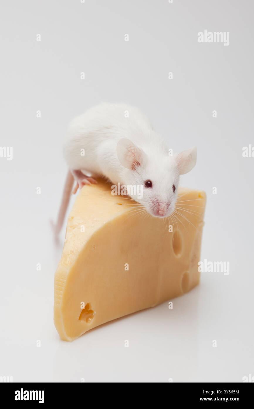 Weiße Maus auf ein Stück Käse Klettern Stockbild