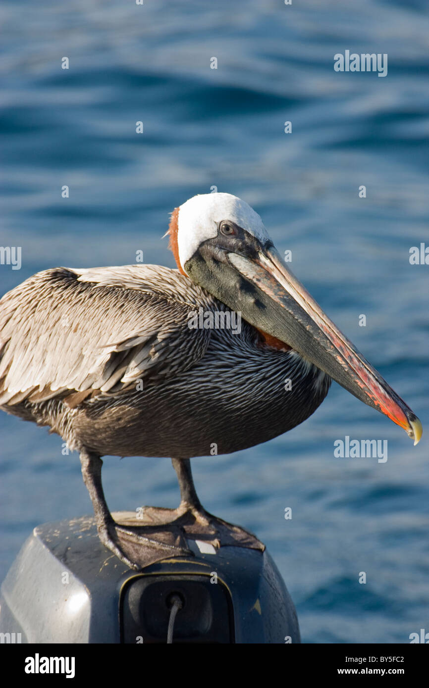 Vögel braune Pelikan Pelecanus Occidentalis Bartolome Bartholonew Galapagosöarna den Galapagosinseln Stockbild